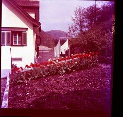die Tulpenwolke